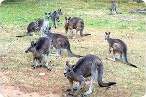 Kangaroos in Macedon, Victoria.