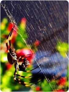 Golden Orb spider having lunch