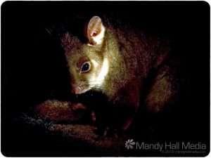 A little ringtail possum in the dark