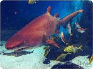 Shark at the Melbourne aquarium