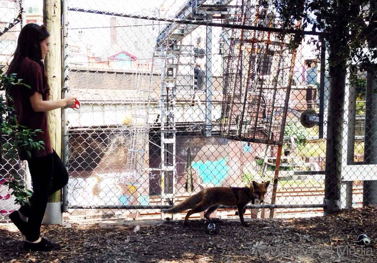 A girl walking a fox on a leash in Newtown