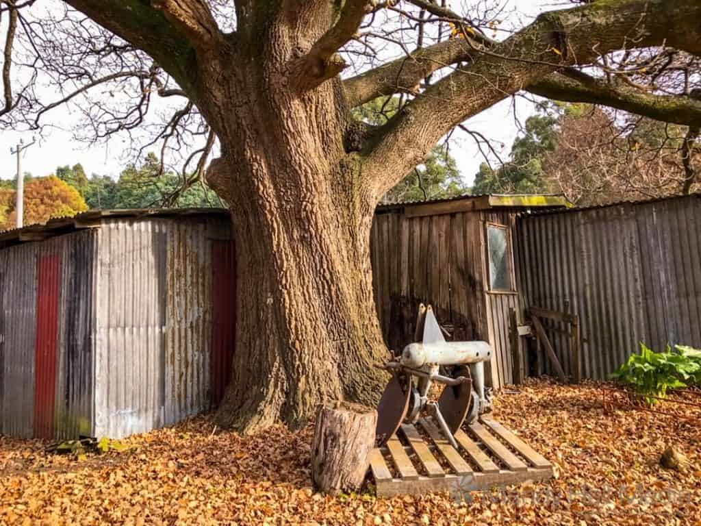 Big oak and old shed