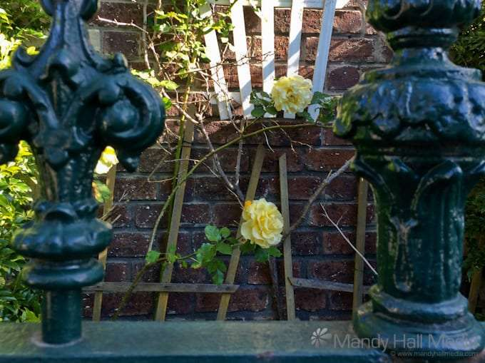 Yellow roses through the fence