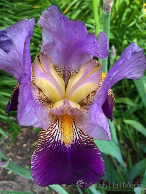 Large iris blooming. You can see why Lewis Carol wrote about them.