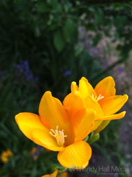The freesias have come out. They smell wonderful.