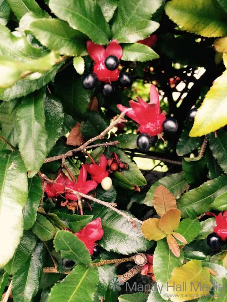 Weird flowers and berries on a bush. Anyone know what it is?
