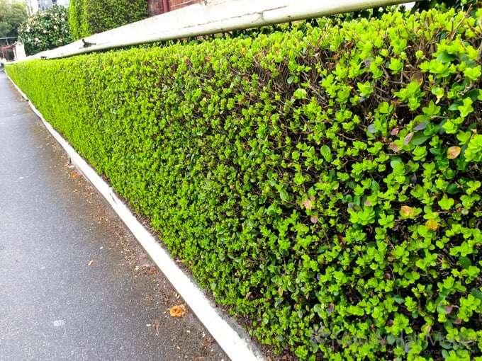 Very green hedge