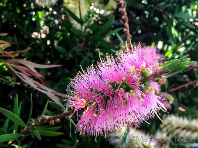 Pink Banksia