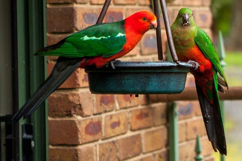 King parrots feeding