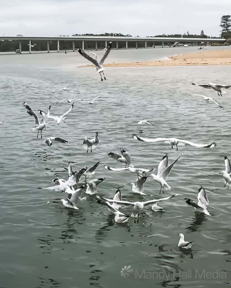 Seagull traffic jam