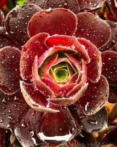 Succulent in the rain