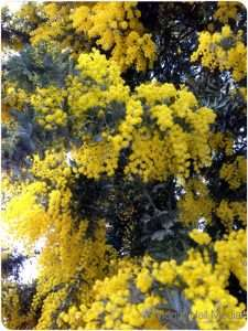 The wattle has started coming out