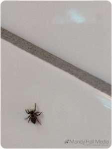 Little jumping spider in my kitchen