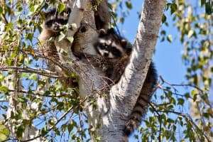 Baby raccoons in a tree. Very cute and squeaky.