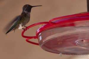 Gorgeous little hummingbirds. So fast.