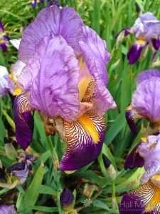 Iris flowers in the garden