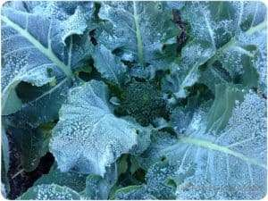 Worst frost I've seen in ages. Poor broccoli.