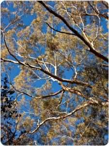 The sky through ghost gums. What a beautiful day.