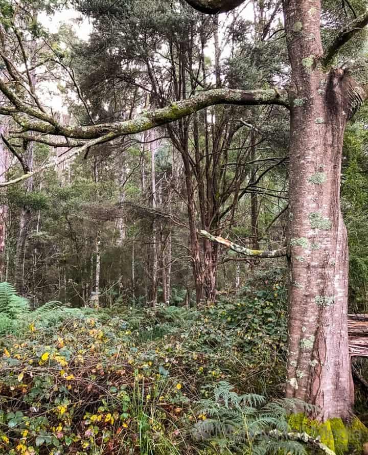 Tasmanian bush