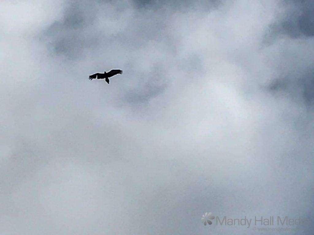 Eagle overhead
