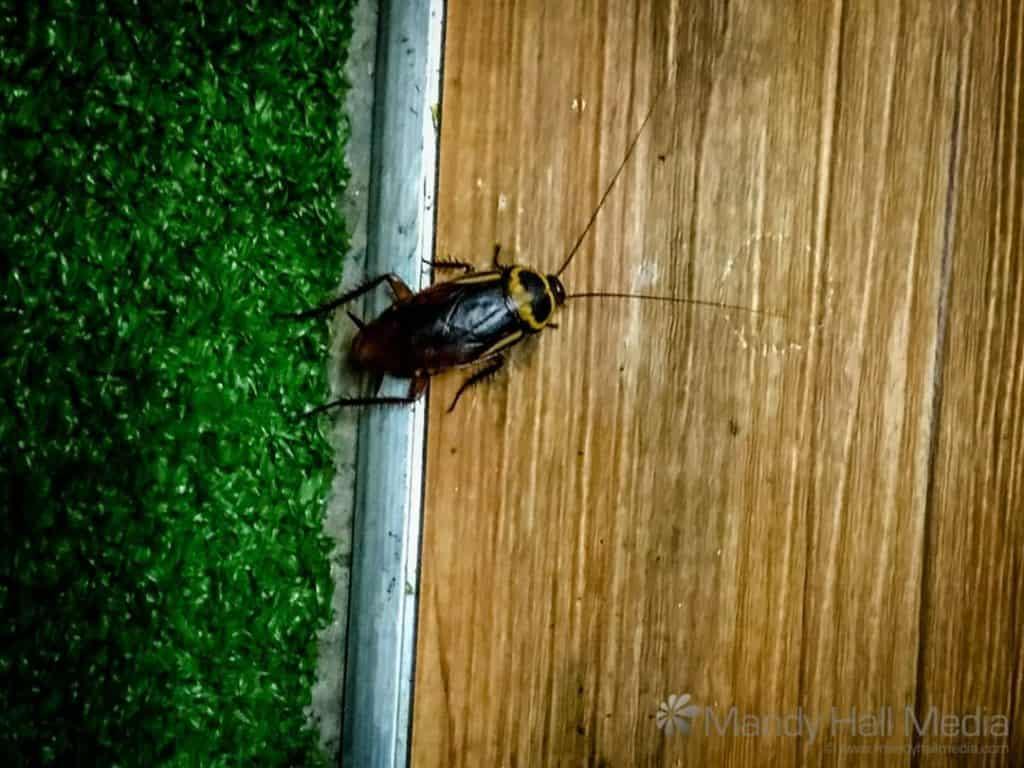Cockroach. Yuk.