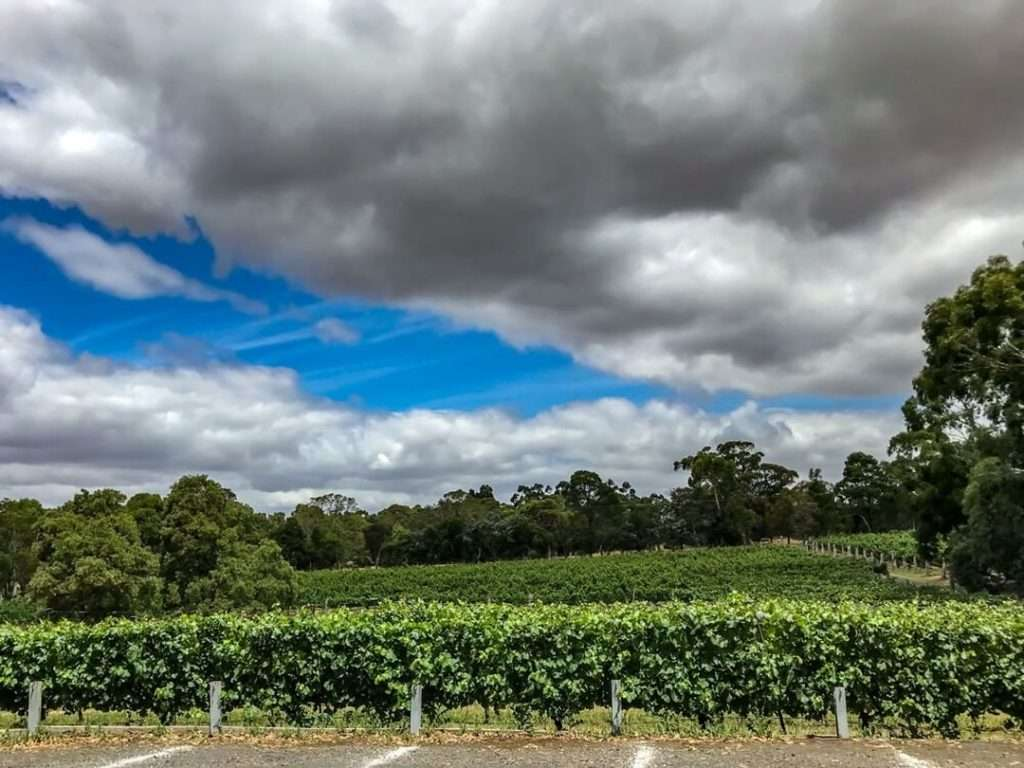 Vineyard in Gisbourne