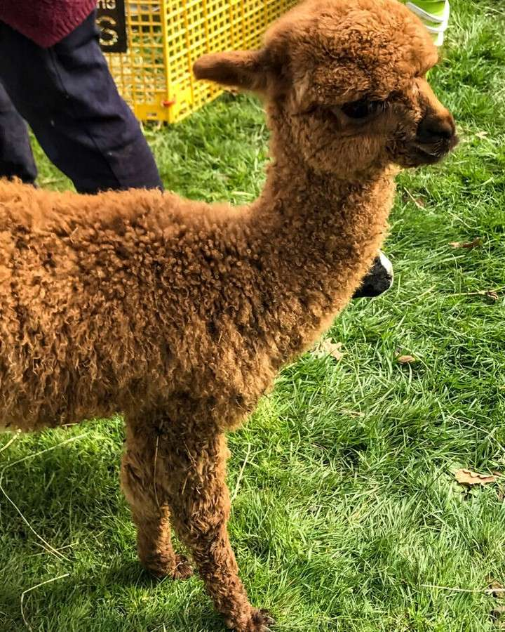 Cute little alpaca