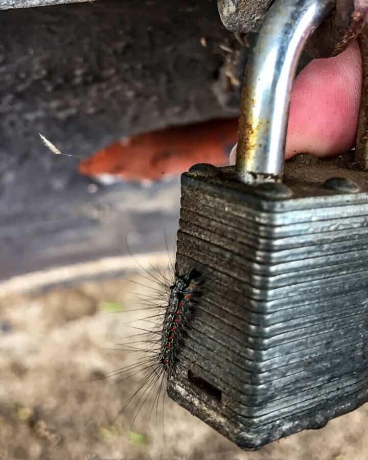 Furry caterpillar