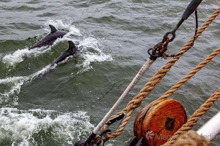 Dolphins following the The James Craig near Williamstown