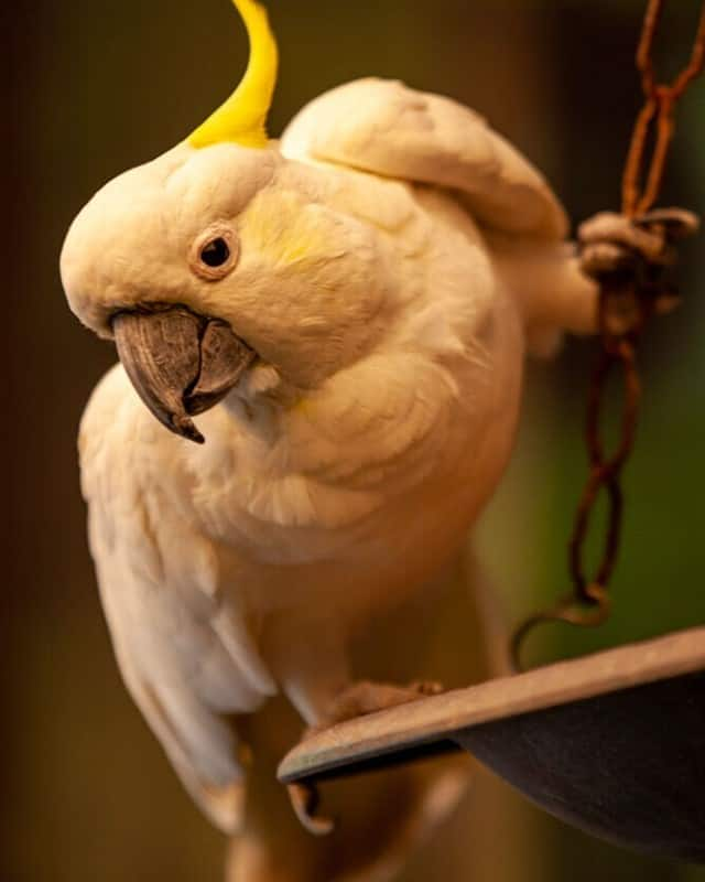 Curious cockatoo