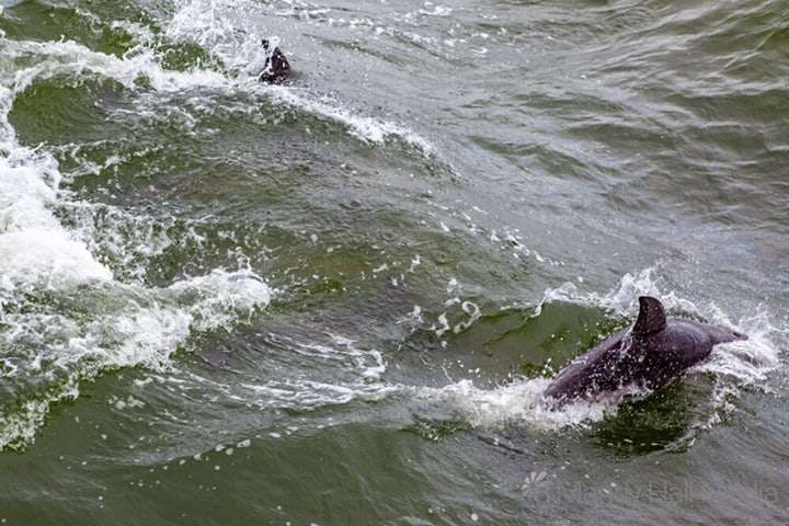 Dolphins following the James Craig sailing around Williamstown, March 2020